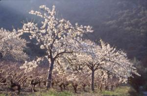 cerisiers